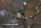 Red-breasted Nuthatcher (Sitta canadensis)