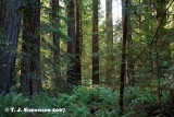 Coast Redwood (Sequoia sempervirens) - 2