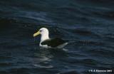 Cambell's Albatross (Thalassarche impavida)