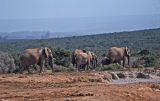 Exeunt elephants