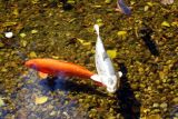 Koi by the Mulberry