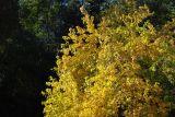 Morus Alba-White Mulberry