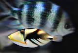 Baby Picaso Triggerfish