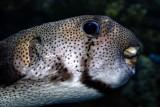 Porcupinefish (puffer)