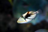 Picaso triggerfish (baby)