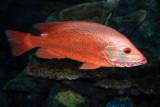Scarlet Snapper