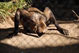 Geoffrey's Spider Monkey