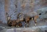 Arabian ibex