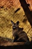 Large eared fox