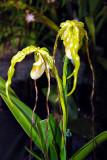 Paphiopedilum hybid