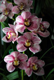 Cymbidium (Physical Attraction x Camouflage Candy)