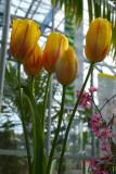 1st tulips