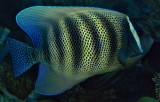 6 banded angelfish