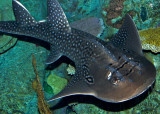 Bow mouth guitarfish