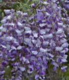 Wisteria close up