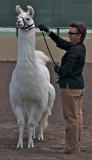 Llama with handler