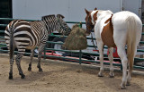 A Zebra and a Paint