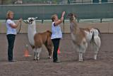 Llamas and Handlers