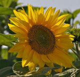 Sunflower (infield gardens)