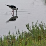 Black Necked Stilt foraging