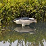 Night Heron stalking