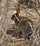 Cottontail spotted