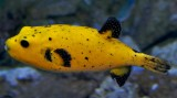 Guiniefowl pufferfish
