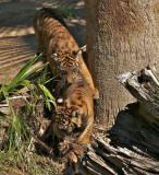 2 cubs playing