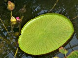 Huge Asian lilypad