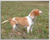 Beagles_MHF_D2X_1735_sm.jpg