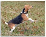 Beagles_MHF_D2X_1746_sm.jpg