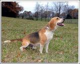 Beagles_MHF_D2X_1826_sm.jpg