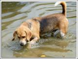 Beagles_D2C_2160.jpg