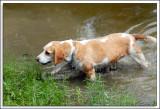 Beagles_D2C_2164.jpg
