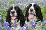 Springer Spaniels Walter and Benny