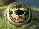 frogs eye2.jpg
