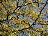 Locust Tree Foliage