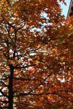 Oak Tree Foliage