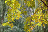 Mulberrry, Willow & Pine Tree Foliage