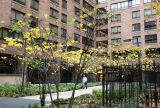NYU Law School Residence Entrance - Cercis Trees