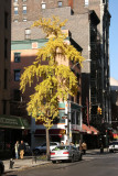 Ginkgo Tree at 12th Street