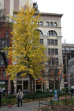 Ginkgo Tree & NYU Paulette Goddard Residence Hall
