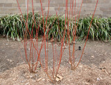 Red Twigs & Liriope