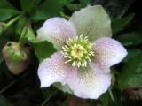 Helleborus orientalis or Lenten Rose