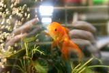 Window Fish Tank & Goldfish