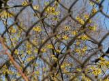 Witch Hazel Blossoms - St Luke's Church Garden
