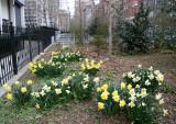 Daffodils - Garden & Playground View