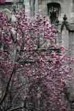 Grace Church & Tulip Tree in Bloom