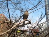 Mockingbird in an Apple Tree
