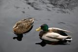Ducks - Japanese Pond Garden